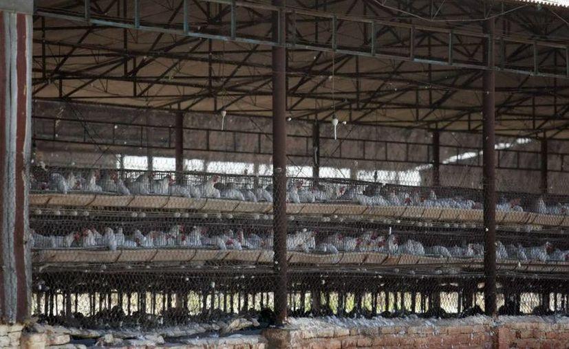 Lo que se siguen exportando son los productos derivados del huevo y las preparaciones alimenticias como nuggets y embutidos. (Notimex)
