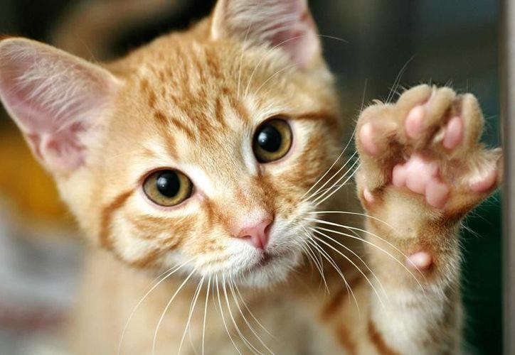 Los parásitos y bacterias de los gatos pueden frenar el asma. (Contexto/Internet)