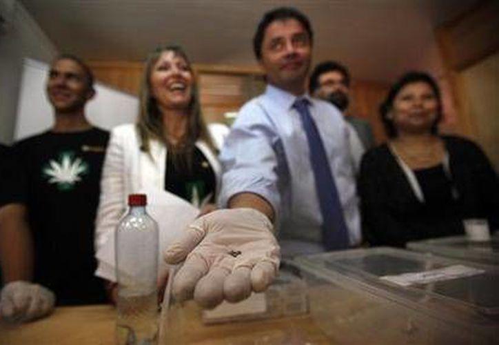El alcalde de La Florida, Rodolfo Carter, muestra una semilla de cannabis durante la presentación a la prensa del proyecto que busca aliviar el dolor mediante terapias alternativas, el miércoles 29 de octubre de 2014. (Foto: AP/Luis Hidalgo)