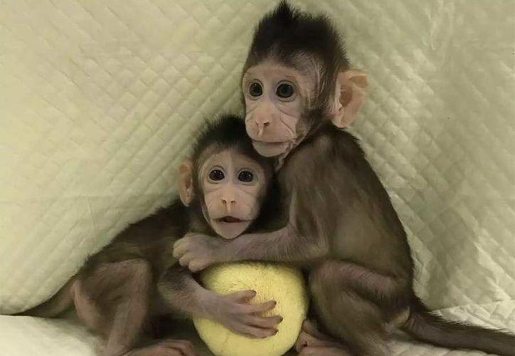 A más de 20 años de la clonación de 'Dolly', lograron hacerlo de nuevo con un monito. (Academia de Ciencia de China)