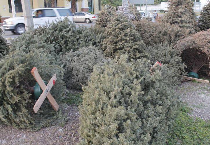 Finaliza mañana programa de acopio de árboles de Navidad. (Israel Leal/SIPSE)