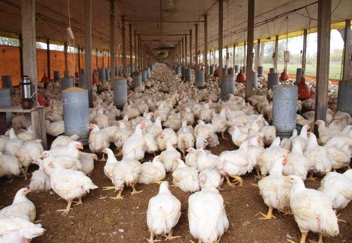 La producción de pollo y huevo resiente pérdidas de hasta 10 por ciento como consecuencia del intenso calor. (Milenio Novedades)