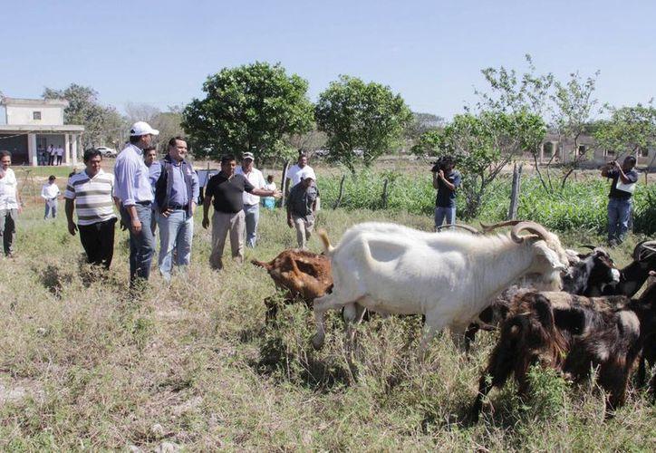 Mediante la cría de borregos en Dzununcán, Santos Roberto Cocom Celis y su familia generan una actividad económica que los arraiga a su comunidad. (SIPSE)