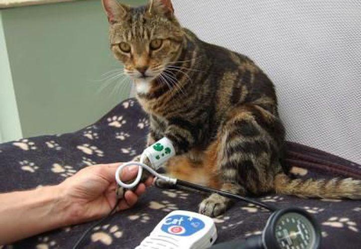 Cuando el gato tiene más de 10 años, ya se considera que tiene una edad avanzada. (Muy  Interesante)