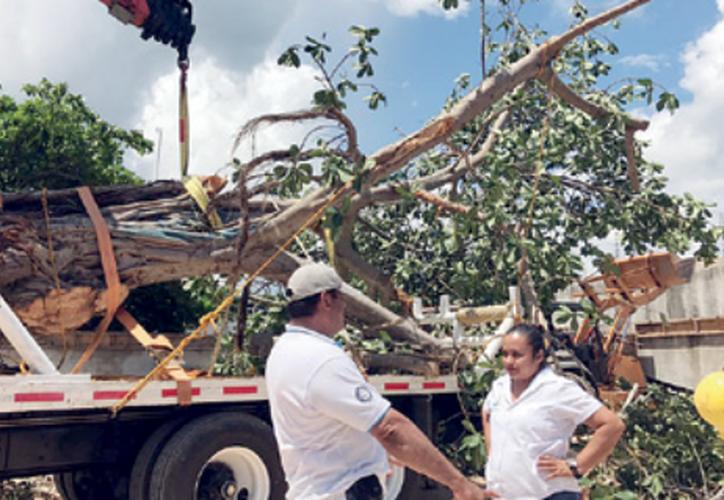 En lo que va de este año ya suman 64 árboles de gran tamaño trasplantados con éxito a sitios donde siguen cumpliendo su fin ecológico. (Octavio Martínez).
