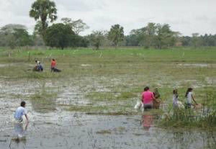 Entre las aguas turbias que dejaron los escurrimientos se encuentran los camarones de popal y las mojarras. (Foto de Contexto/Internet)
