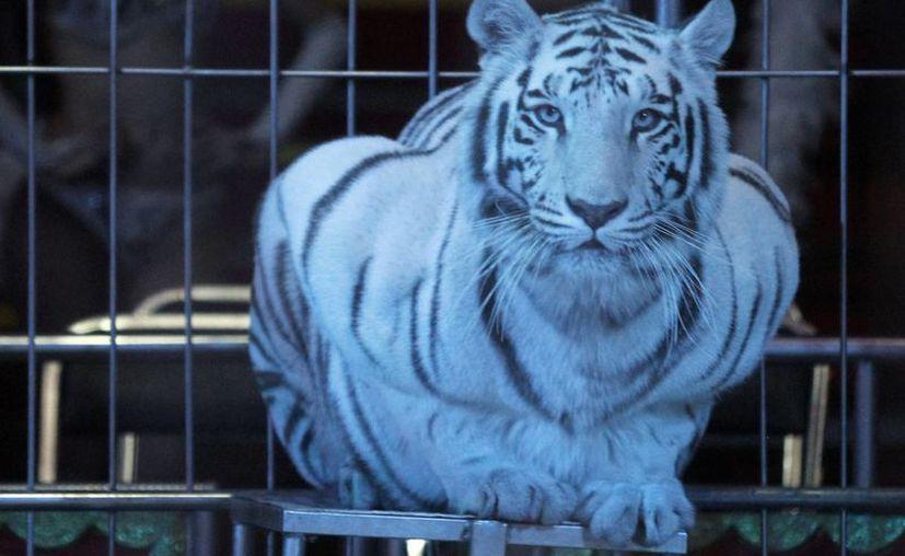En Ensenada, quienes infrinjan la nueva ley sobre la prohibición de animales en circos se harán acreedores a multas de hasta 300 salarios mínimos. (Foto de archivo de Notimex)