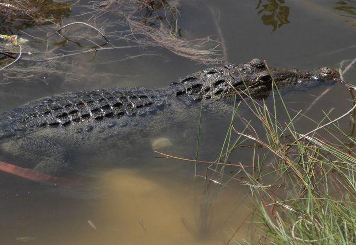 Cada vez son más frecuentes las visitas externas de los reptiles, reconocen expertos. (Tomás Álvarez/SIPSE)