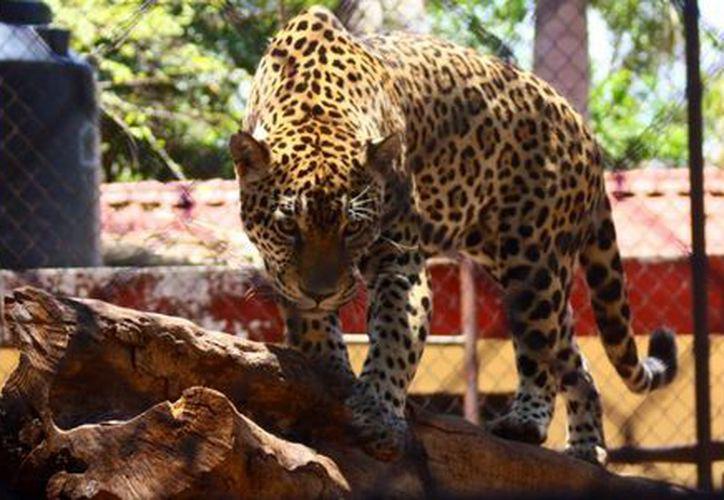 Se sabe de la existencia de jaguares en Tizimín, San Felipe, Río Lagartos, Valladolid y recientemente en Hunucmá. (Christian Coquet/SIPSE)