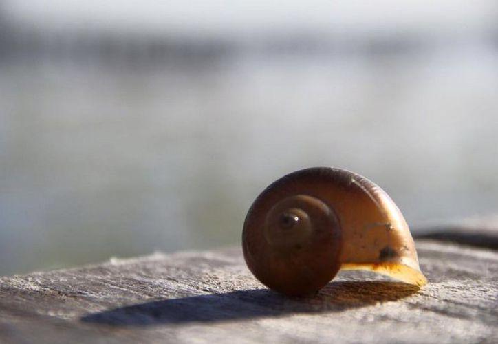 Buscan proteger al caracol con una veda de 10 años. (Javier Ortiz/SIPSE)
