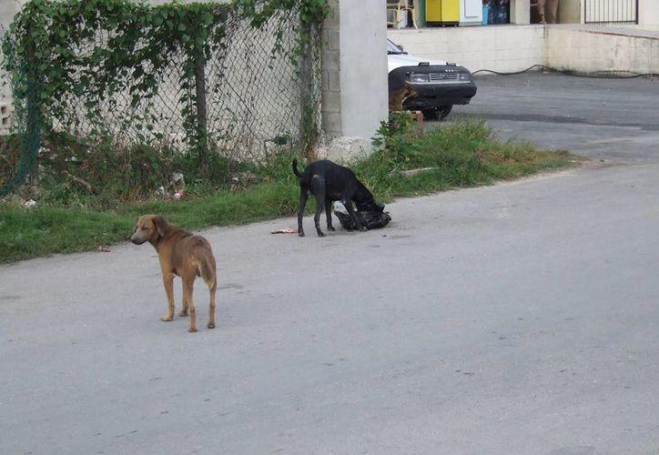 Los animales callejeros vagan sin control en las calles del poblado. (Rossy López/SIPSE)