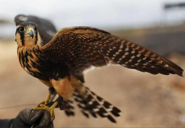 Baraka es uno de los halcones que ayuda a limpiar el cielo paraguayo para prevenir accidentes aéreos. (Agencias)