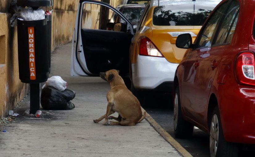 La cultura de adopción animal que tienen los canadienses facilita que perros mestizos yucatecos tengan un hogar. (José Acosta/Novedades Yucatán)