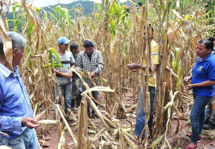 Los campesinos señalaron que los apoyos de la Sagarpa están detenidos desde el año pasado. (Carlos Castillo/SIPSE)