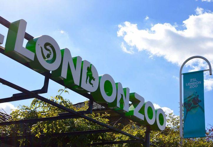 El gorila pudo ser recapturado en poco tiempo y no puso en peligro a los visitantes del zoológico londinense. (thelondonmum.me)