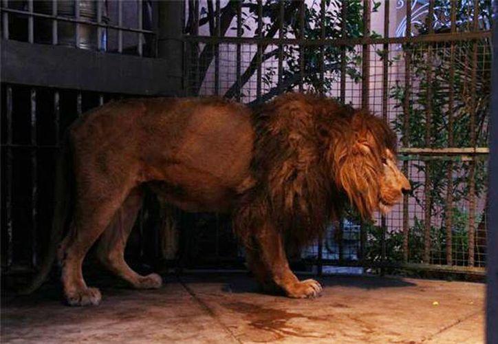 Imagen del león africano encontrado y asegurado en un domicilio particular del DistritoFederal en la delegación Iztapalapa. (@PROFEPA_Mx)