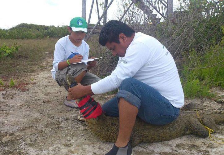 Jóvenes trabajan por la conservación de los manglares y cocodrilos de la región. (Julián Miranda/SIPSE)