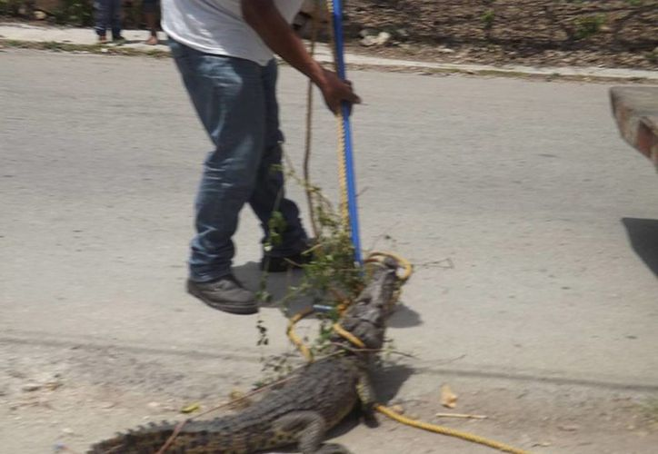 Finalmente al reptil fue atrapado por gente de Protección Civil y trasladado en un zoológico particular de Valladolid. (Milenio Novedades)