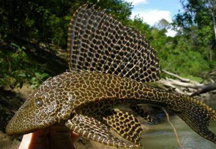 El pez diablo podría perforar el sedimento marino. (Cortesía/SIPSE)