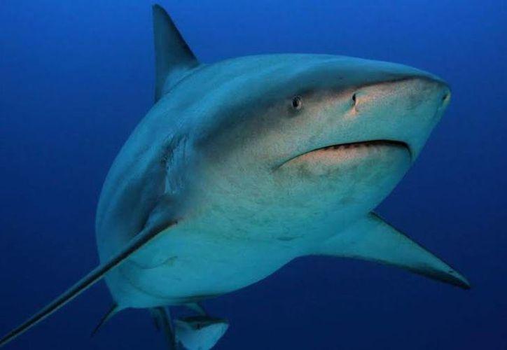 La Sagarpa busca proteger al tiburón al ser un importante eslabón que permite el equilibrio de especies. (Redacción/SIPSE)