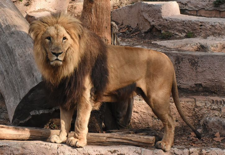 Un león dio un mal paso y cayó en el río artificial dentro de su hábitat en el zoológico de Alemania. (Foto: Contexto)