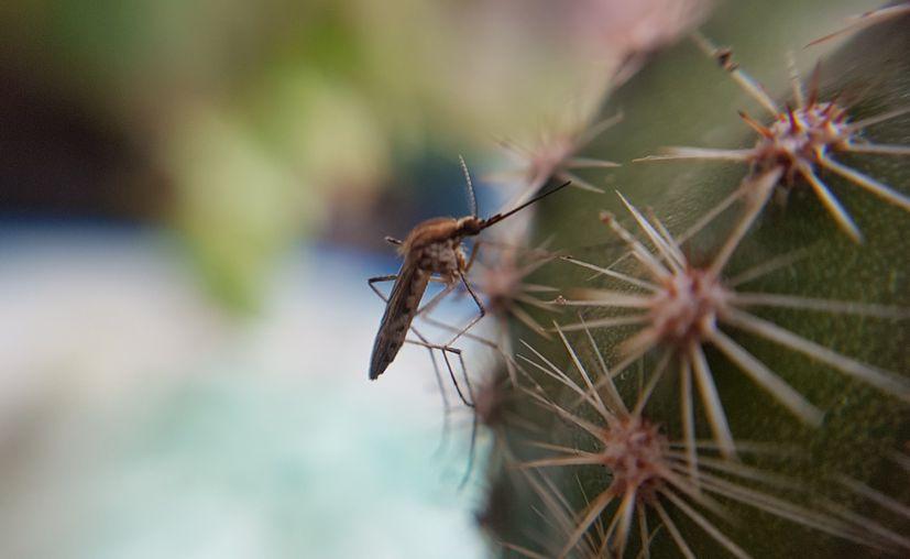 Las autoridades sanitarias de Estados Unidos alertan sobre la propagación, a través de un mosquito, de un virus que puede causar daño cerebral y la muerte. (Wikipedia)