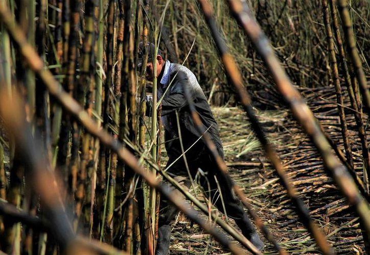 Los cortadores de caña trabajan sólo dos días a la semana, perciben 120 pesos por jornada y no hay otras fuentes laborales cercanas. (SIPSE)