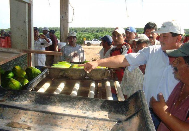 El cultivo de papaya maradol genera 48 empleos directos durante 14 meses. (Gerardo Amaro/SIPSE)