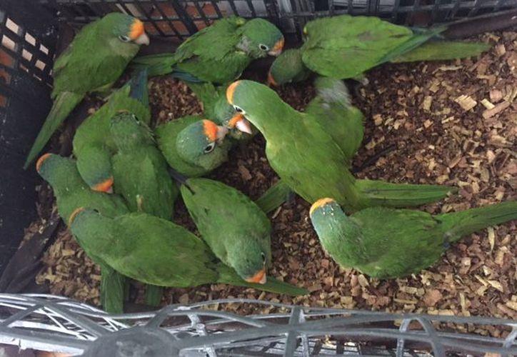 Un total de 13 pericos frente naranja fallecieron (Foto: Profepa)