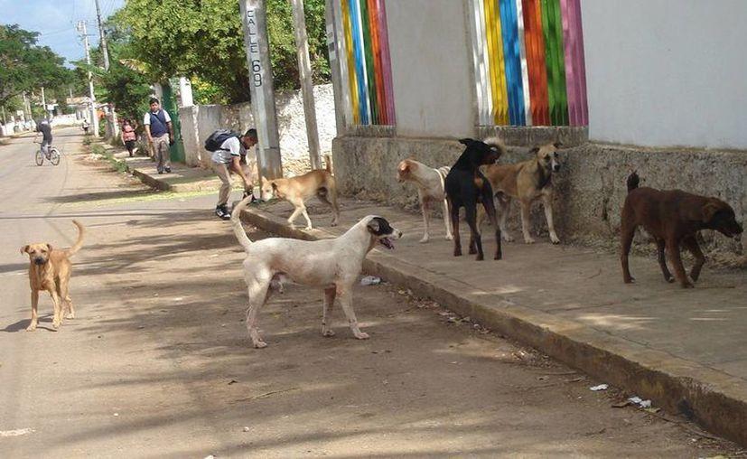 La problemática es inminente, existe una gran cantidad de perros callejeros en calles de la ciudad. (Carlos Yabur/SIPSE)