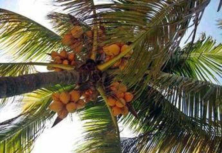 La Unión Nacional de Productores de Palma de Coco y sus Derivados afirma que en Q. Roo, y otros nueve estados del país, se desaprovechan los suelos propicios para el cultivo de coco.  (Foto de contexto/Internet)