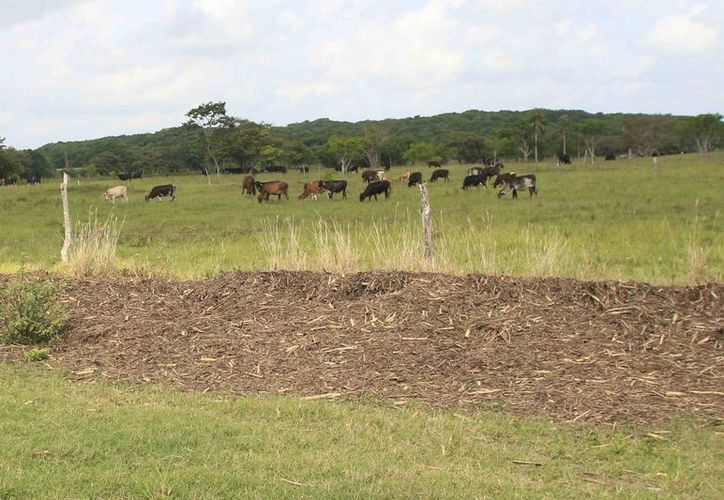 El ganadero denuncio que le fueron robadas 35 cabezas de ganado, el patrimonio de su vida. (Manuel Salazar/SIPSE)