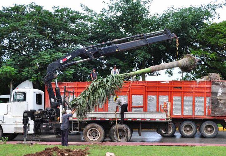 Las palmeras fueron aseguradas dentro de un operativo que realizó la Profepa cerca de la ribera del Río Hondo. (Cortesía/SIPSE)