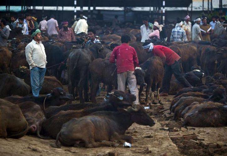Comerciantes comprando y vendiendo búfalos en el complejo del matadero de Ghazipur en Nueva Delhi, India. (Agencias)