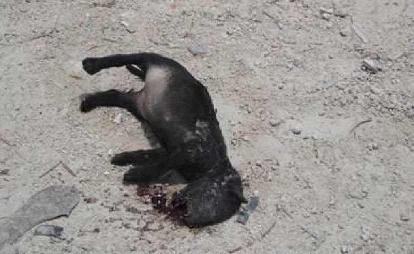 Uno de los cachorros yacía atropellado en una vía de sascab. (Facebook)