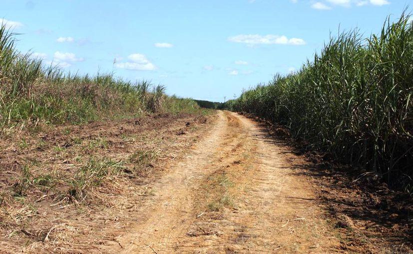 Extensas áreas de cañaverales en la ribera del río Hondo se vieron seriamente afectadas por las fuertes precipitaciones hace algunos meses, lo que dejó intransitables algunas zonas. (Edgardo Rodríguez/SIPSE)