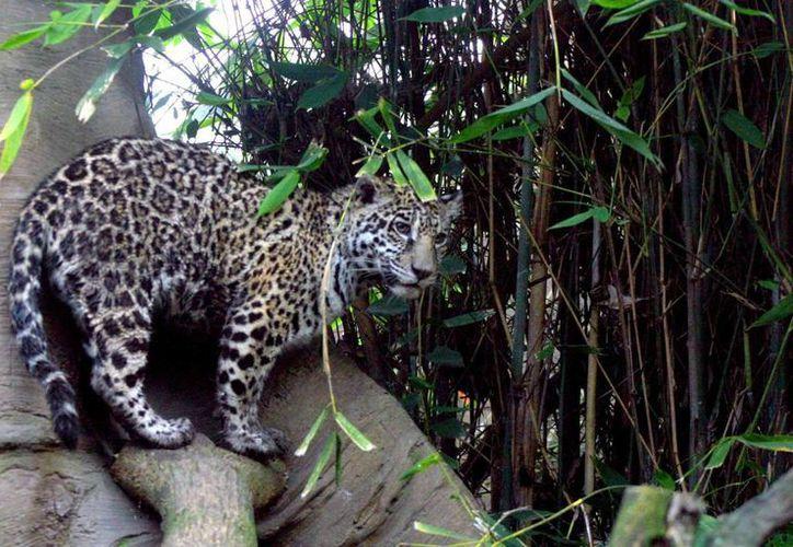 Se calcula que existen cuatro mil jaguares en todo el país. Su caza está prohibida desde 1987. Imagen de contexto. (Archivo/Notimex)
