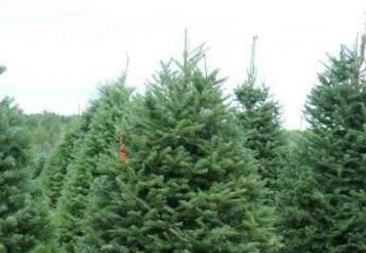 Hasta el momento la Profepa ha inspeccionado alrededor de mil árboles importados. (Archivo/SIPSE)