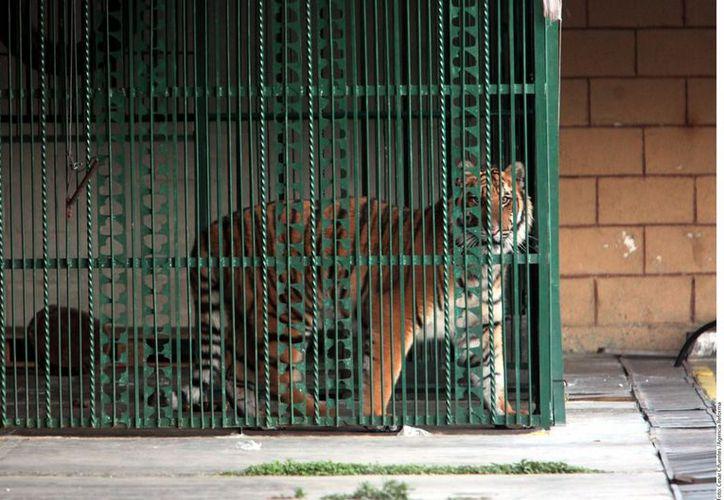 El tigre es un atractivo del restaurante-bar. (Agencia Reforma)