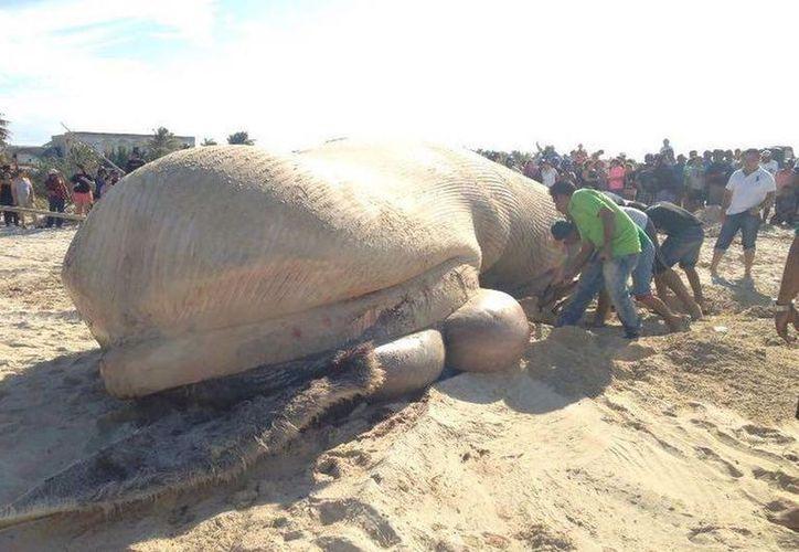 El esqueleto del cetáceo que recaló en el puerto en el 2016 se expondrá al aire libre.  (SIPSE)