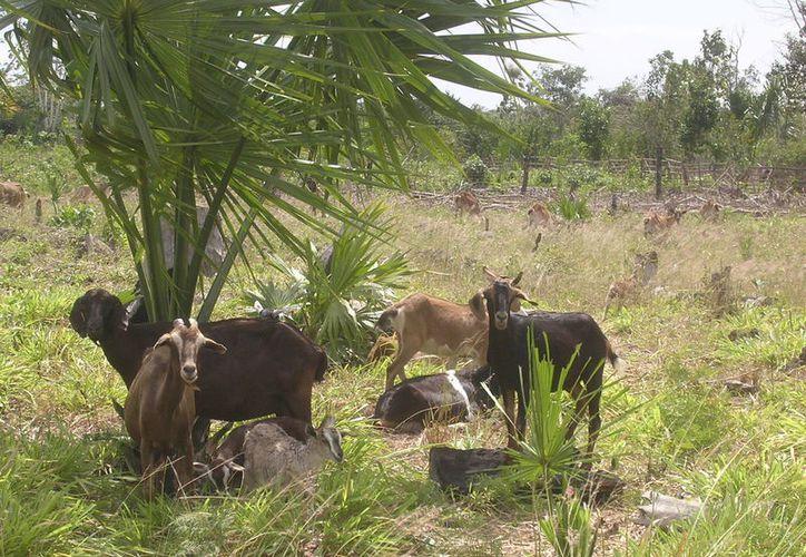 De no implemetarse programas de apoyo, la cría de ovinos en Quintana Roo puede desaparecer. (Benjamín Pat/SIPSE)