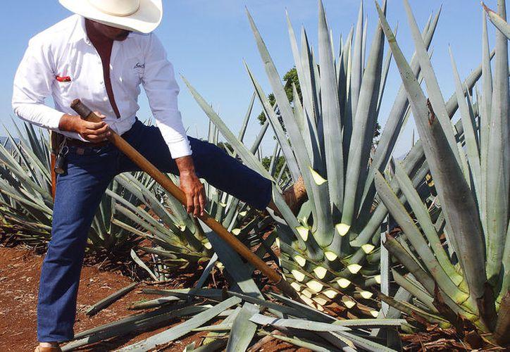 México es el centro de diversidad biológica y cultural de los agaves a escala mundial. (Foto: Pressesante)