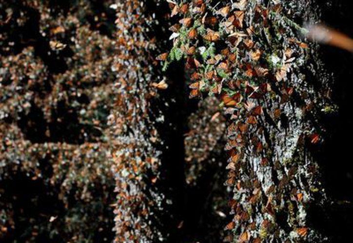 La Reserva de la Biósfera Mariposa Monarca se ubica entre los estados de Michoacán y México, con una superficie de más de 13 mil hectáreas. (Notimex)