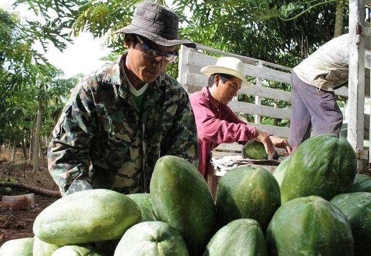 Cada año se producen alrededor de cinco mil toneladas de este fruto en la entidad.(Edgardo Rodríguez/SIPSE)