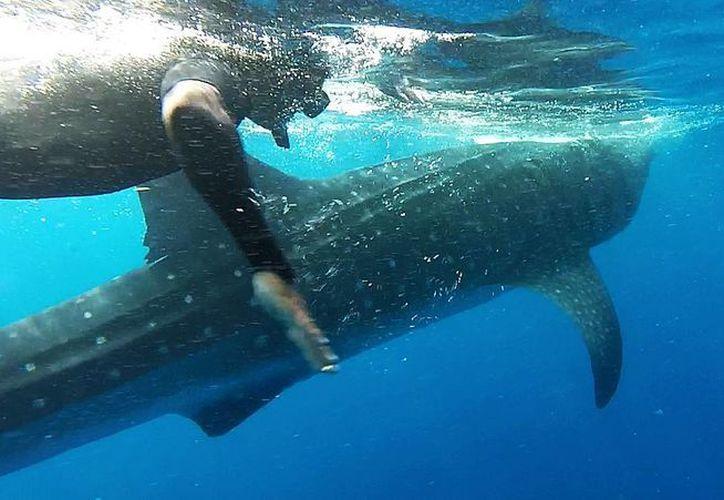 El tiburón ballena pronto tendrá una zona de refugio en aguas del Caribe mexicano. (Luis Soto/SIPSE)