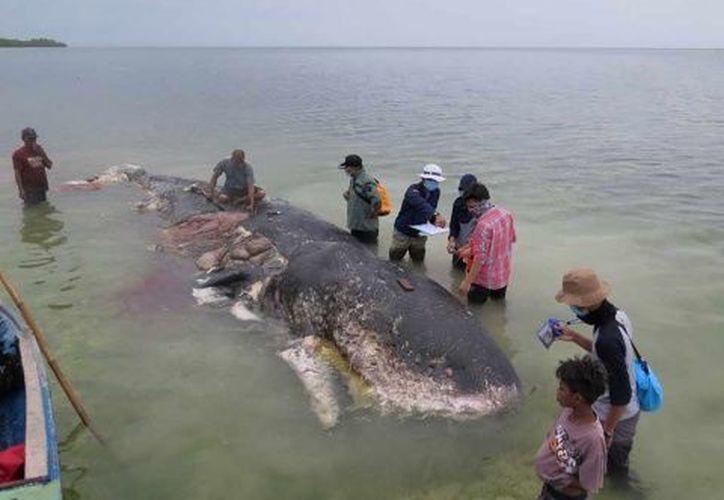 Un grupo de ambientalistas contabilizaron miles de residuos plásticos de uso humano dentro de una ballena muerta, en Indonesia. (AP)