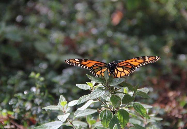 Las mariposas adultas reproductivas viven de cuatro a cinco semanas. (Archivo/Notimex)