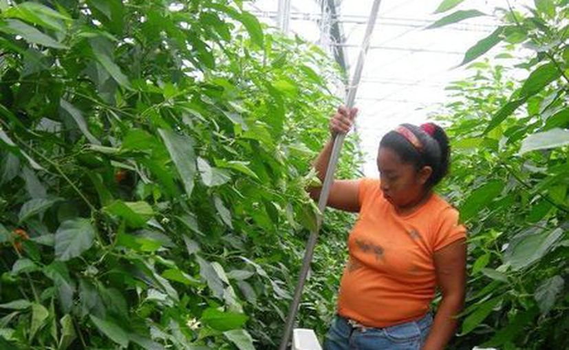El año pasado, el precio del chile se encontraba a 40 pesos por kilogramo. (Edgardo Rodríguez/SIPSE)
