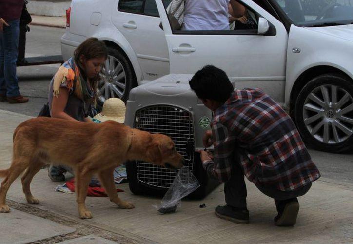 Desde el inicio de esta actividad, hace seis años, ambas fundaciones han esterilizado a más de dos mil mascotas. (Ángel Castilla/SIPSE)