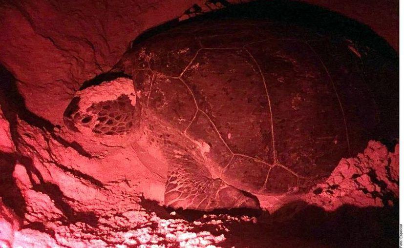 Los nidos de tortuga en Quintana Roo no han sido afectados por el sargazo, según el Comité de Tortuga de Quintana Roo. (Agencia Reforma)